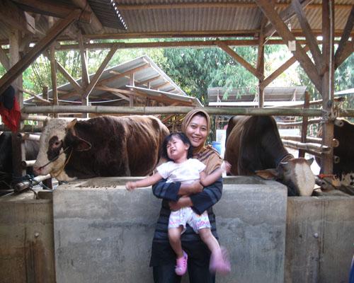 di kandang sapi 2