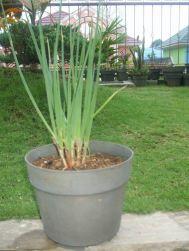 bawang dalam pot