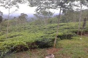 kebun teh-2