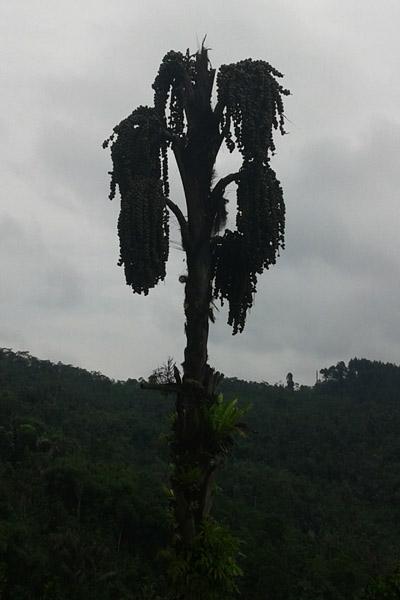 Pohon Aren di samping tembok teras ke-2