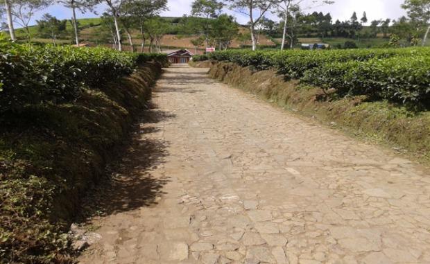 jalans etapak di kebun teh kaligua