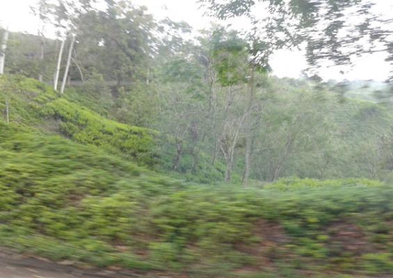 kanan-kiri jurang kebun teh