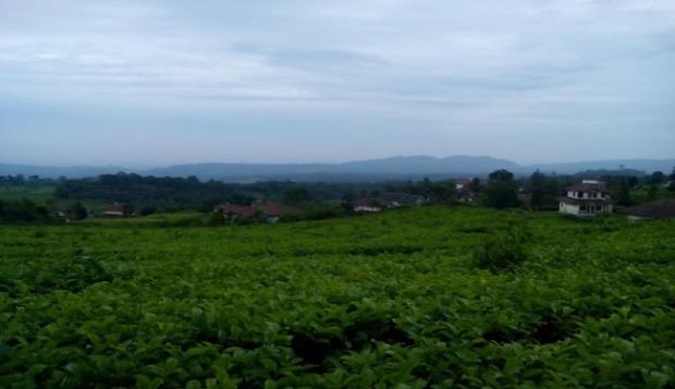 View belakang villa hamparan kebun teh