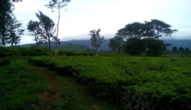 kebun teh dan gunung tangkuban perahu